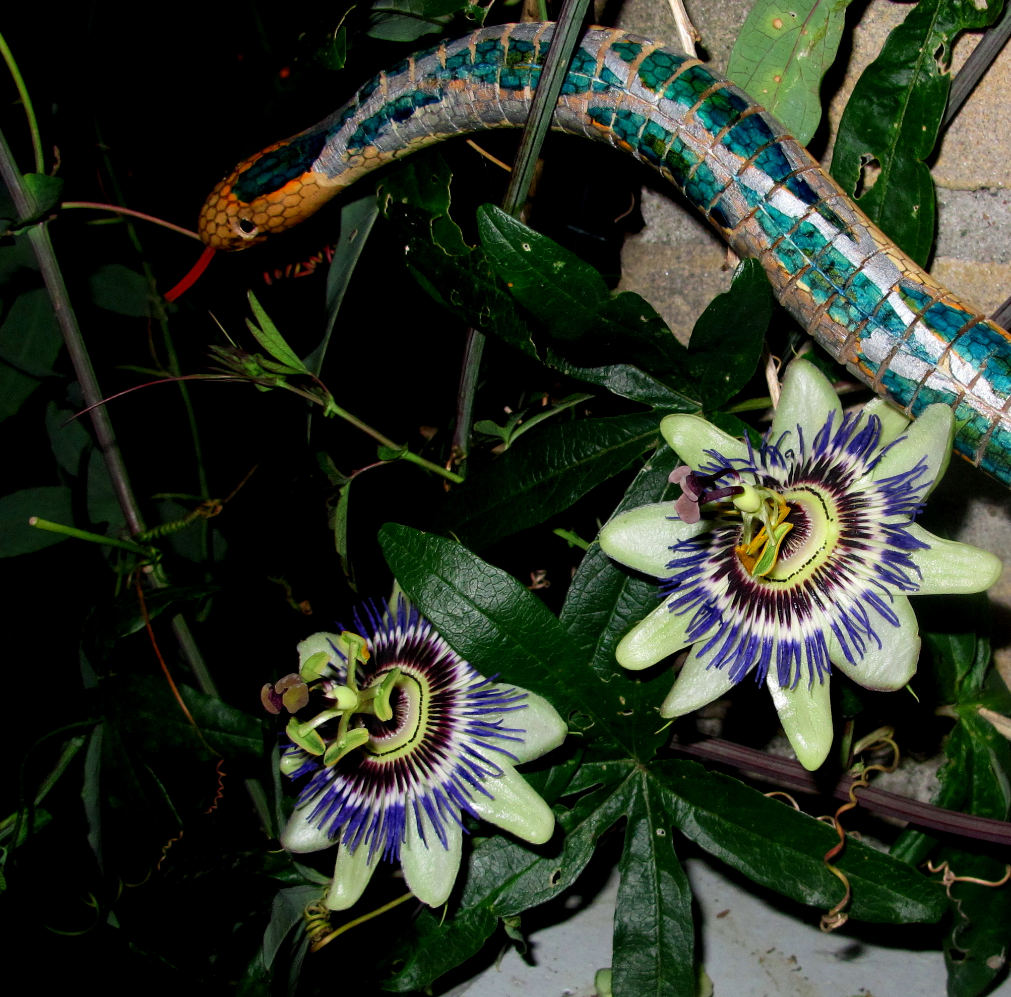 slang en passiebloem serpent passion flower Schlange passionsblume Maria Trepp Gemuteerde passiebloem en passiebloem met slang