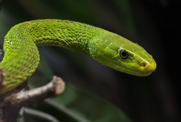 slang Schlange snake close-up Green_Mamba