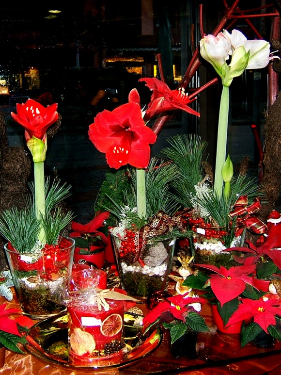 advent amaryllis hippeatrum kerst