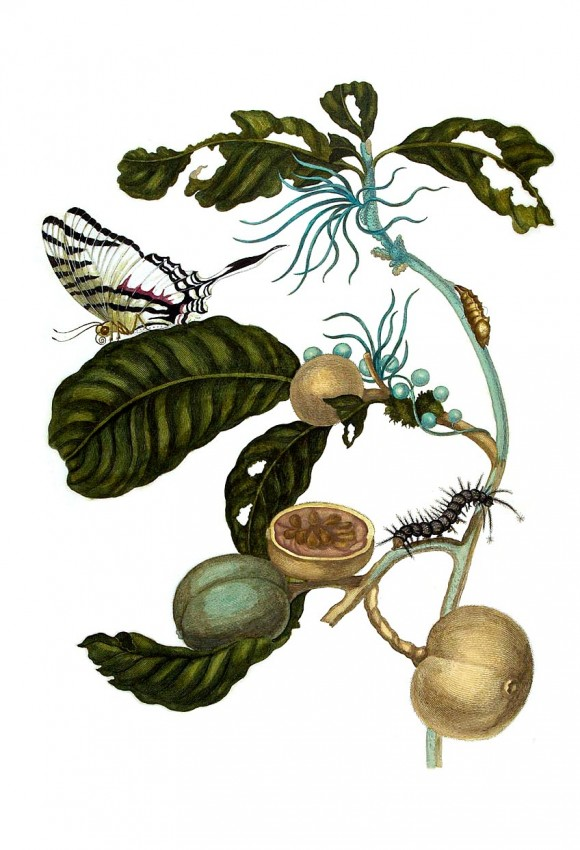 Duroia eriopila by maria sybilla merian insecten theologie1 580x850 Google doodle vandaag Maria Sibylla Merian