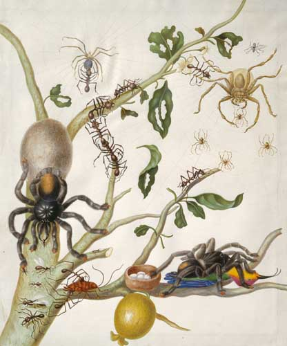 Guavenzweig maria sybilla merian insecten theologie Google doodle vandaag Maria Sibylla Merian