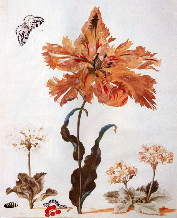 Maria Sibylla Merian 001 tulpe 580x711 Google doodle vandaag Maria Sibylla Merian