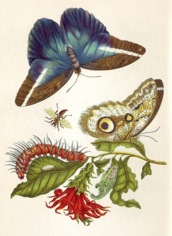 Maria Sibylla Merian  Metamorphosis LX schmetterling vlinder 580x798 Google doodle vandaag Maria Sibylla Merian