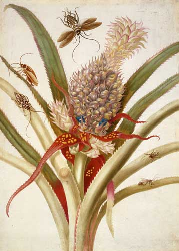 maria Sibylla Merian ananas Google doodle vandaag Maria Sibylla Merian