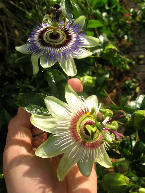 passion flowers different colors Christiaan Huygens over de schoonheid van de aarde, planeten en het heelal
